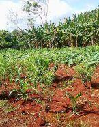 terrain ferme agricole 2018 semer CMD el chico -Cuba -havane