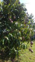 mangos--récolte CMD 2019 ferme finca cuba havane El chico