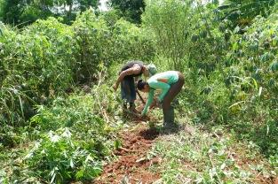 recolte-manioc