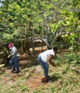 récolte fruits petits coeurs de Cuba Centre Miséricorde divine El Chico